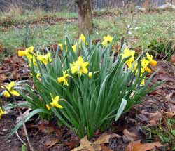 Daffodils in February