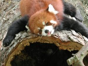 red panda treehuggers' ball