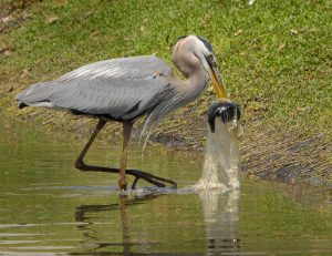 A Great Blue Heron swallows a fish in plastic bag. Photo by Andrea Westmoreland / Creative Commons