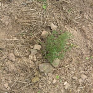 Soil with sparse green peanut sprouts
